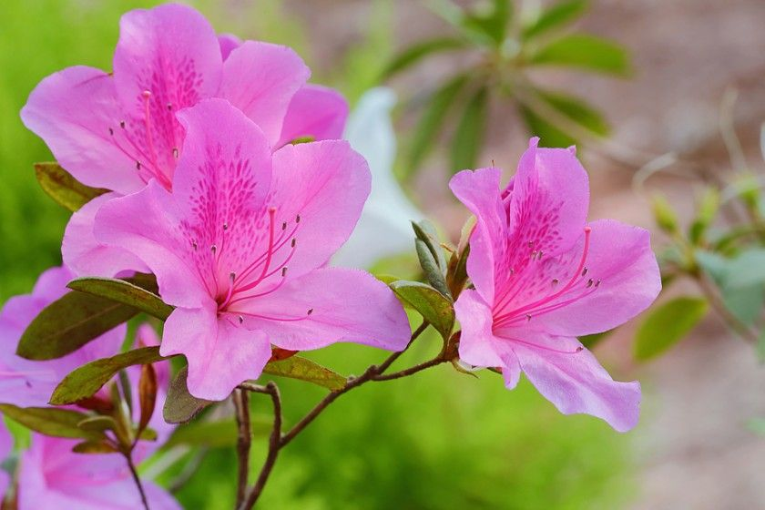 8 Deadly House Plants Azalea Flower Flower Meanings Flowers