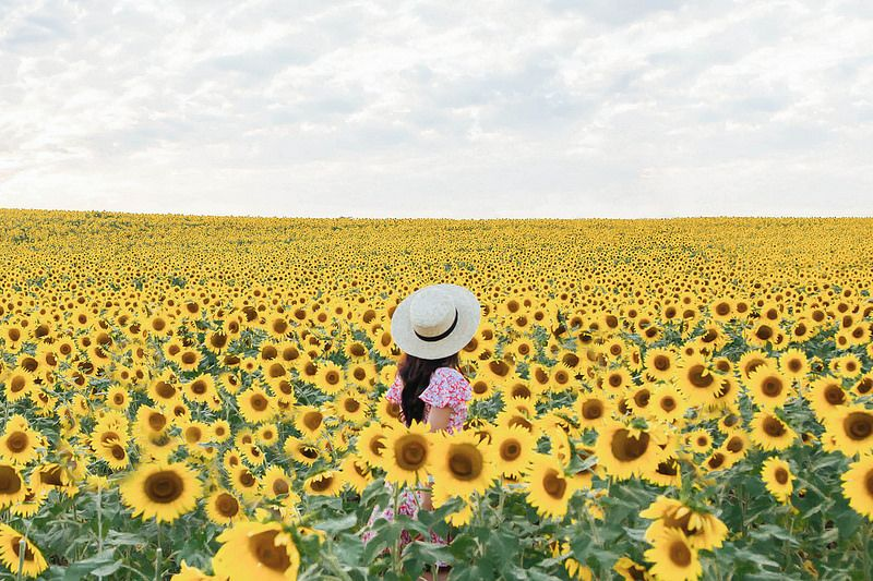 Sunflower Field Shoot In Monkton Maryland Sunflower Fields Sunflower Photography Sunflower Photo