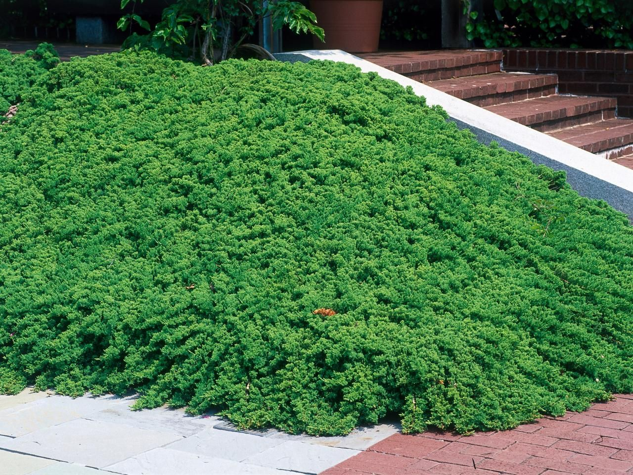 Gold lace juniper juniperus chinensis gold lace plants gold lace juniper juniperus chinensis gold lace plants trees pinterest gold lace buy plants online and buy plants reviewsmspy