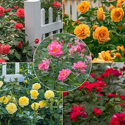 Renowned Rose Breeders Christian Bedard And Dr Keith Zary Have Bred A Groundbreaking New Line Of Roses Exclus Spring Hill Nursery Rose Hedge Planting Roses