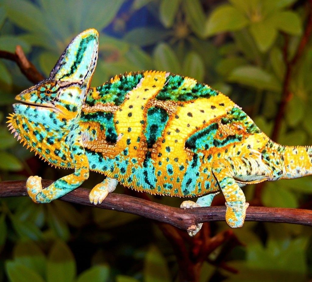 Fl Chams Veiled Chameleon Lizard Colorful Lizards