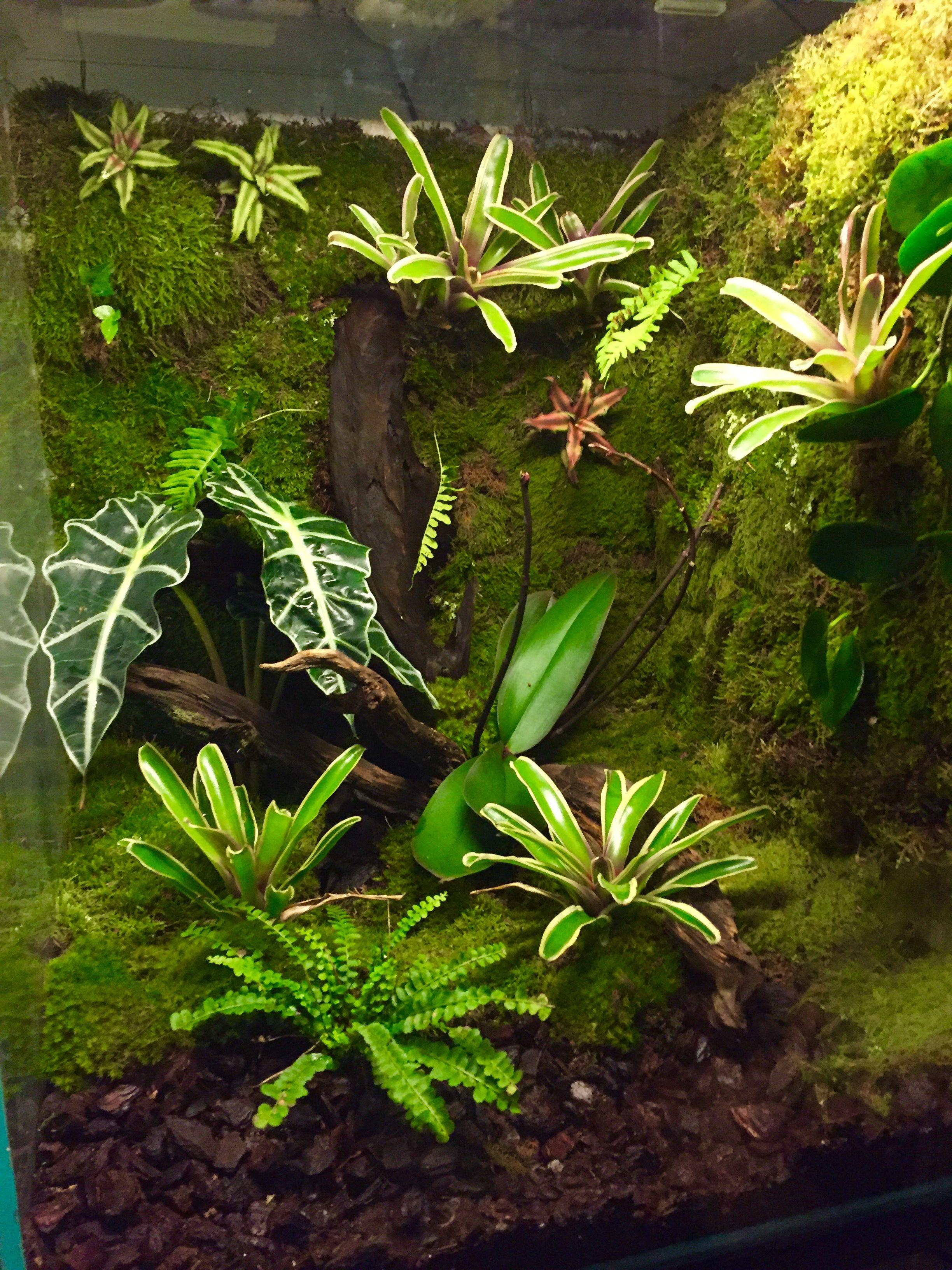 Leucomelas vivarium terra pinterest vivarium terrarium i aquarium