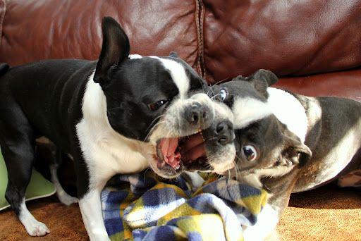 Pin On Love Boston Terriers