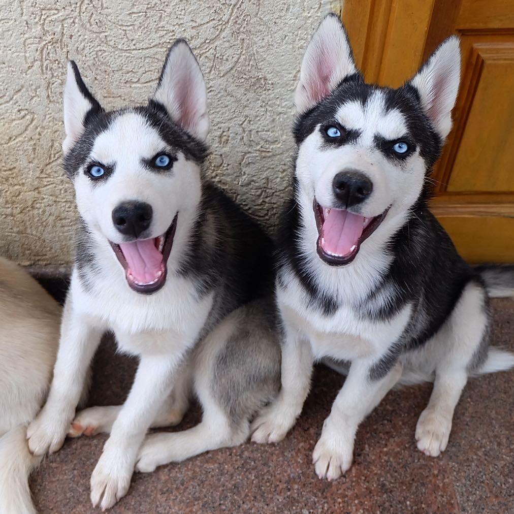 Pin By Lyrkanea On Husky Husky Pics Husky Puppy Dog Love