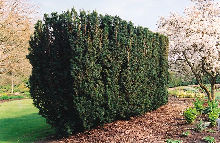Click to view full size photo of hicks yew taxus x media for Garden yew trees