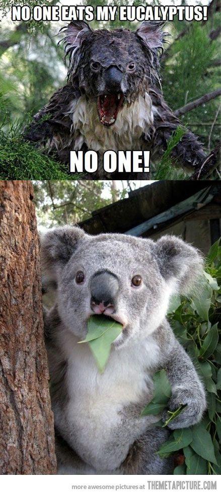 Who ate my eucalyptus? | Koala meme, Cute animals, Koala bear