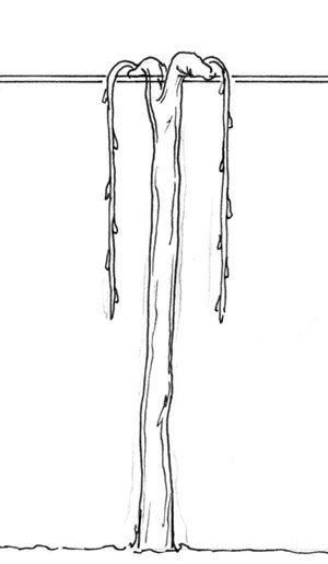 Finally! A dummied down version of grape vine anatomy