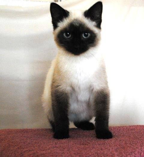 Pingl par charl ne viv s sur animaux siamese kittens tonkinese cat et siamese cats - Chaton tonkinois ...