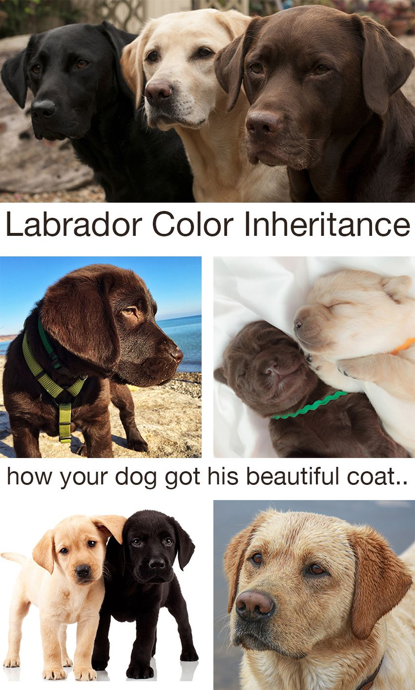 Labrador Colors The Secrets Of Labrador Color Inheritance