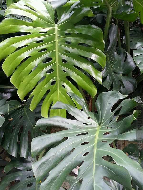 xl giant mexican split leaf breadfruit vine monstera deliciosa