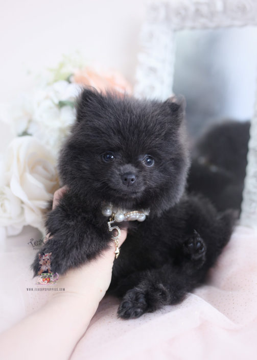 Pomeranian Puppy For Sale Teacup Puppies 054 In 2020 Teacup Puppies Pomeranian Puppy Teacup Puppies For Sale