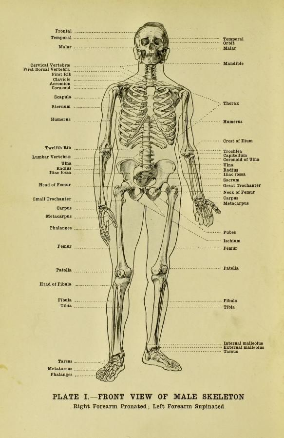 Front View Of A Male Skeleton From Human Anatomy For Art Students