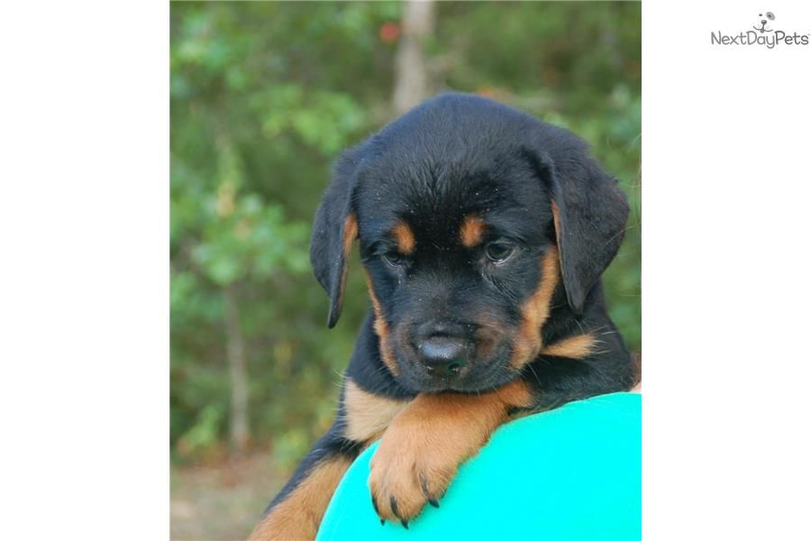 Meet Zoie Akc Reg A Cute Rottweiler Puppy For Sale For 600 Ready Now Akc Reg Female Rottie 417 733 4818