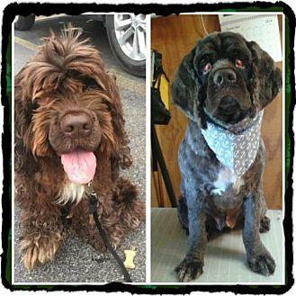 Livonia, MI Cocker Spaniel. Meet Benji, a dog for