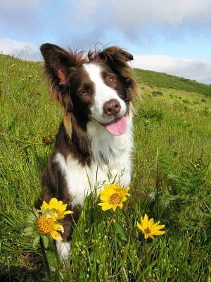 Border Collie Names For Cute Male And Female Collies Border