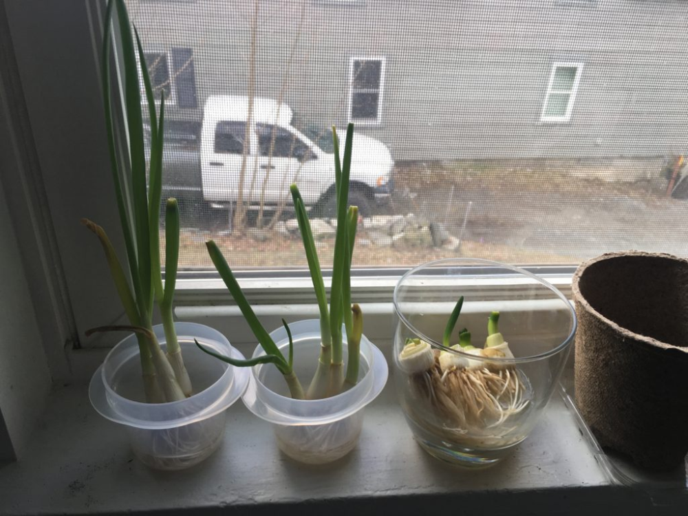 This trick to regrow scallions really works   Hello Homestead