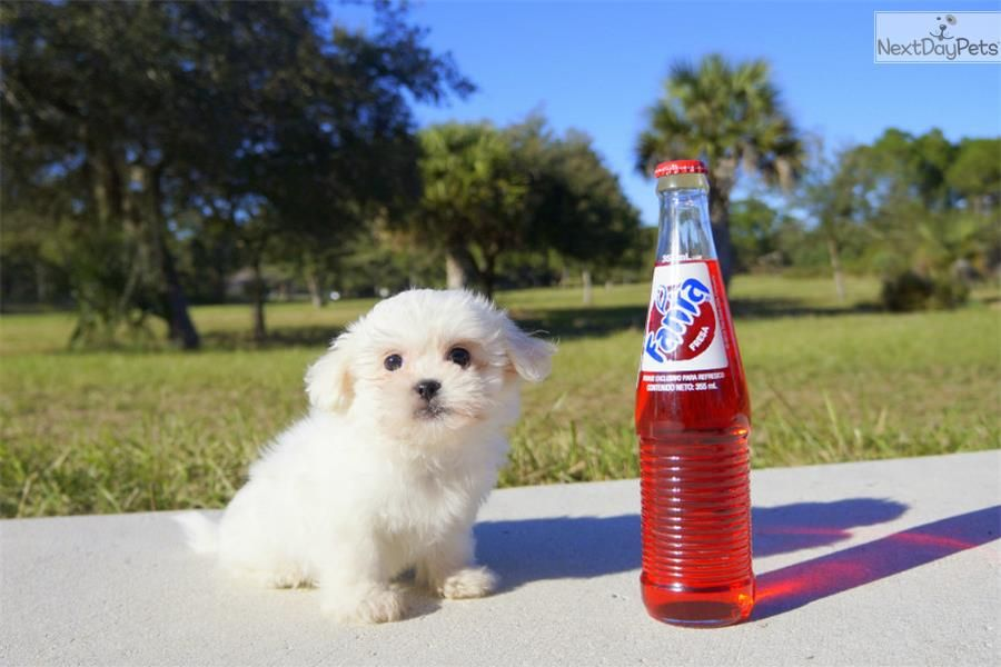 Meet Tiny Snowflake The Teddy Bear Shichon Puppy For Sale Near