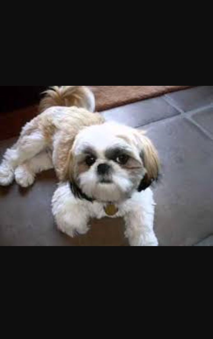 Shih Tzu For Sale Dogs Paper Shop Free Classifieds Shih
