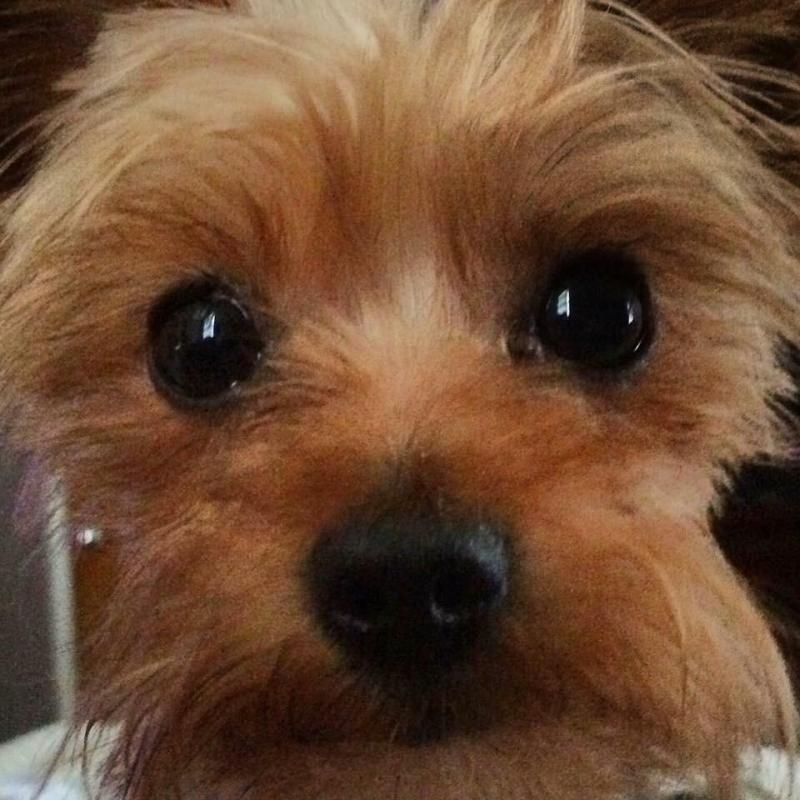 teacup yorkie vs yorkie the 25 best yorkie puppies for adoption ideas on 6999
