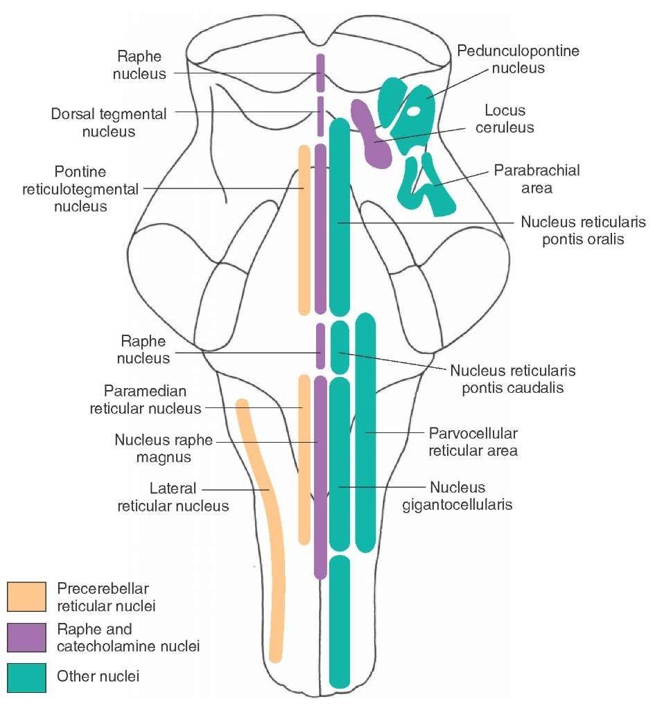 raphe nucleus | The Brain | Pinterest