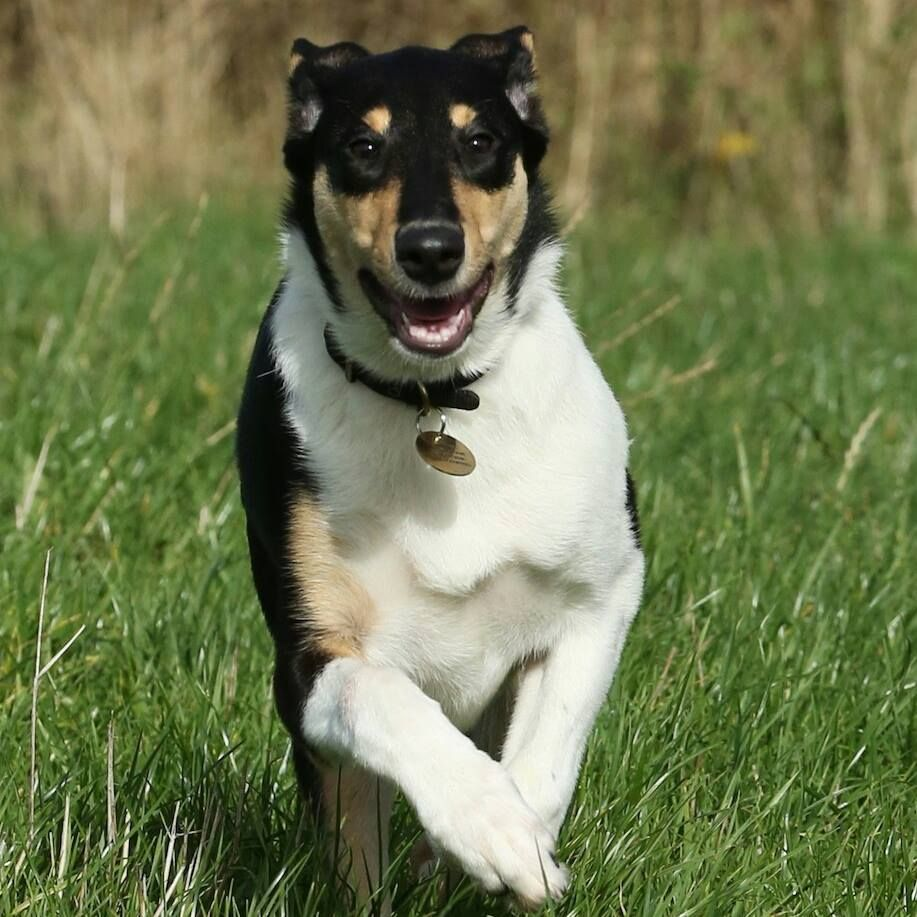 Pin auf Smooth Collies