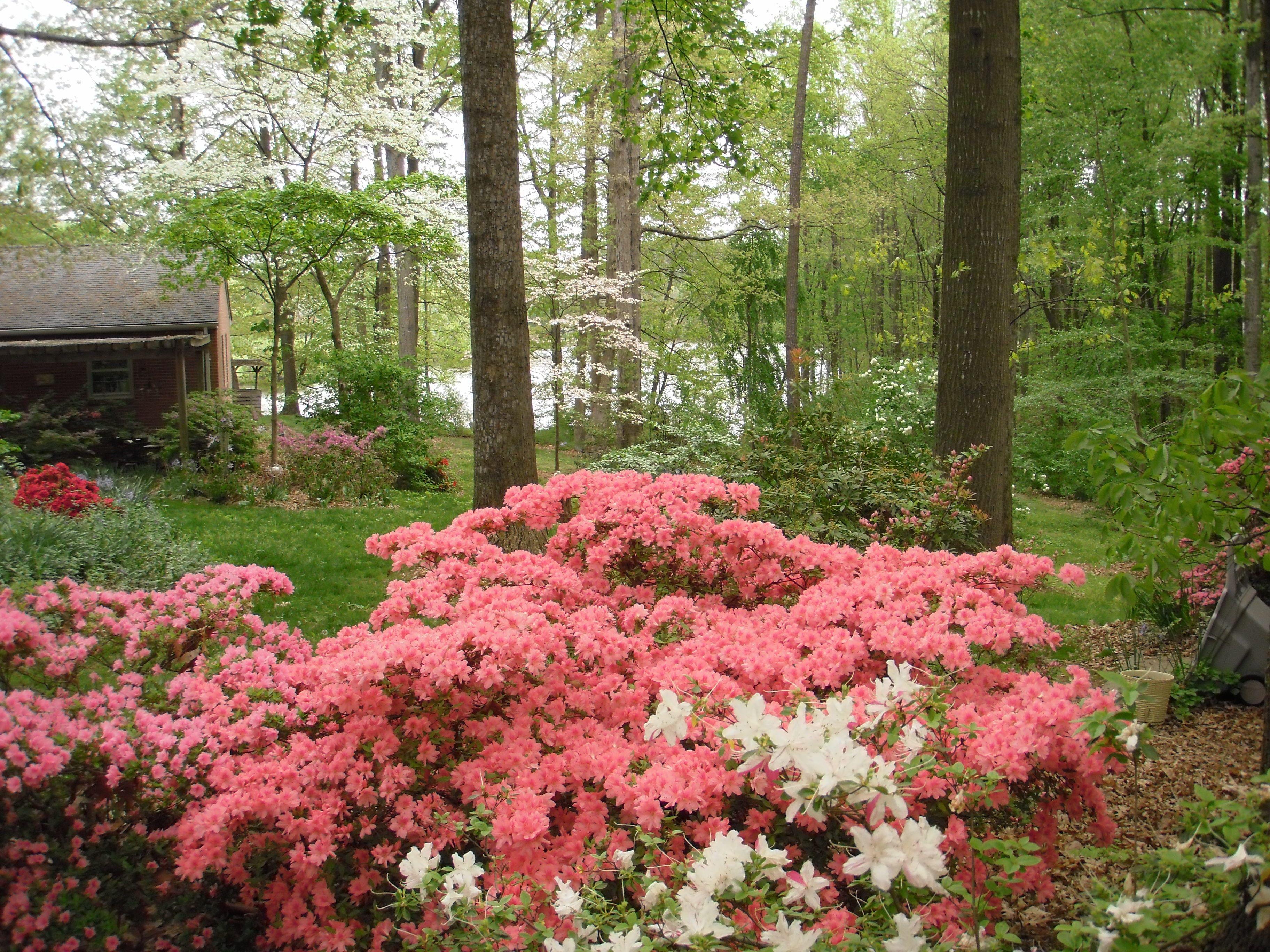 azaleas Google Search Landscaping plants, Backyard