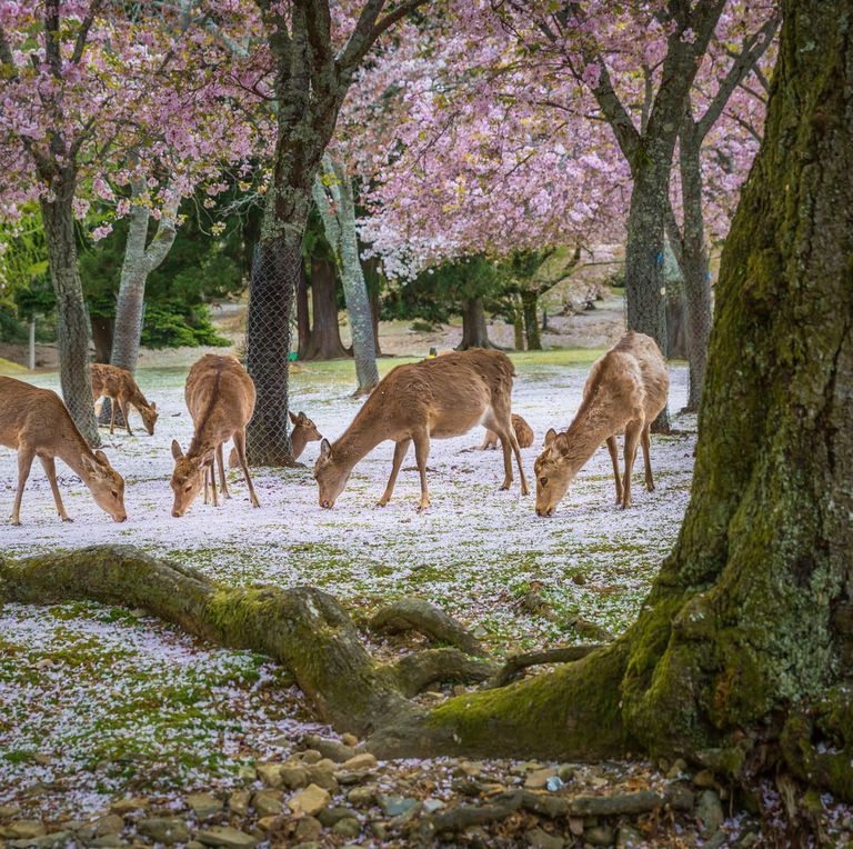 This Video Of Deer Relaxing Under Cherry Blossom Trees Is Straight Out Of A Disney Film Cherry Blossom Tree Blossom Trees Japanese Landscape