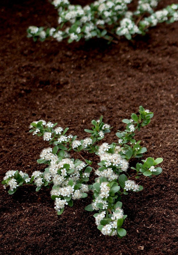Low Scape Mound Aronia is a small ground cover shrub that is hardy