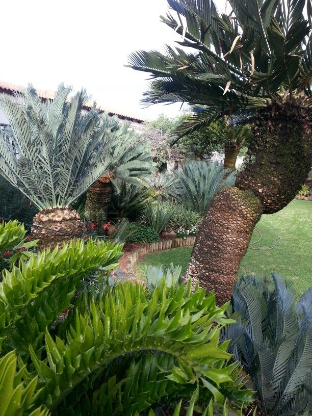 Cycad garden cycads of south africa pinterest for Garden ideas south africa