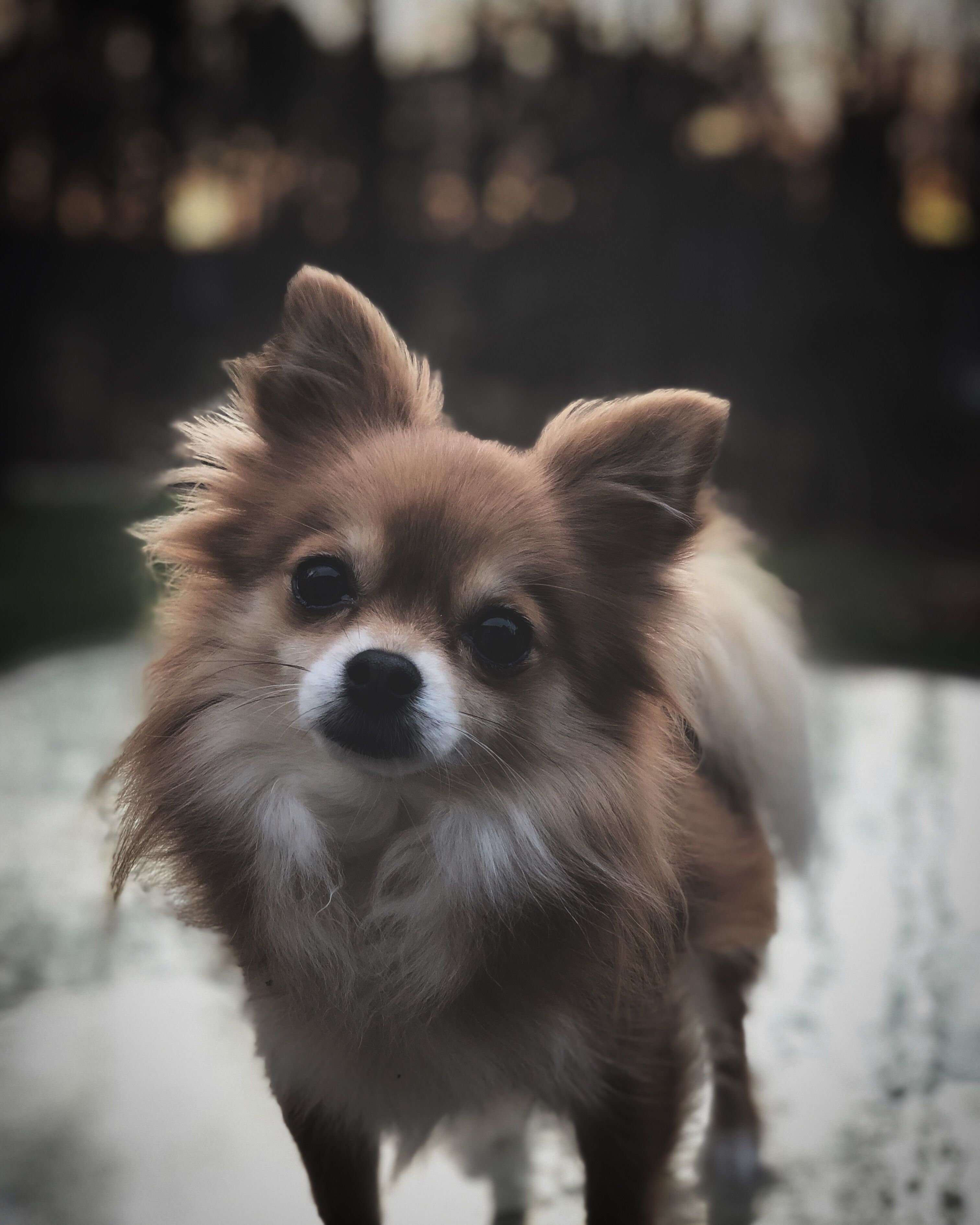 Mia Pomeranian Chihuahua Mix Pomeranian Chihuahua Mix Pomeranian Chihuahua Pomchi Puppies
