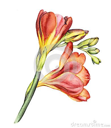 Freesia Flower Watercolor Botanical Illustration Watercolor Freesia Flowers Watercolor Flowers Tutorial