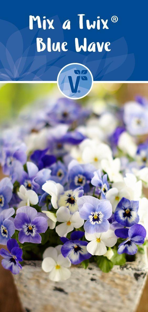 Unsere Hornveilchen Mix a Twix Blue Wave sind frostfest! #volmary #herbst #deko, #blue #Deko #frostfest #Herbst #Hornveilchen #Mix #sind #Twix #Unsere #Volmary #Wave