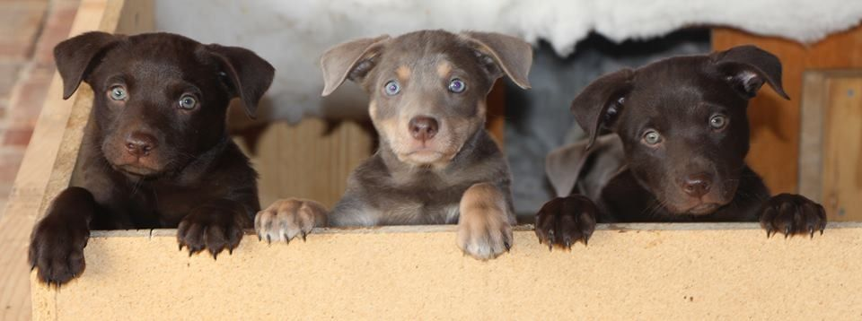 Kelpie Pup Working Dogs Dogs Animals
