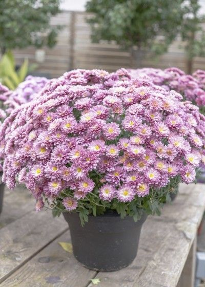 Care Of Container Grown Mums Tips For Growing Chrysanthemums In Pots Potted Mums Garden Mum Fall Mums
