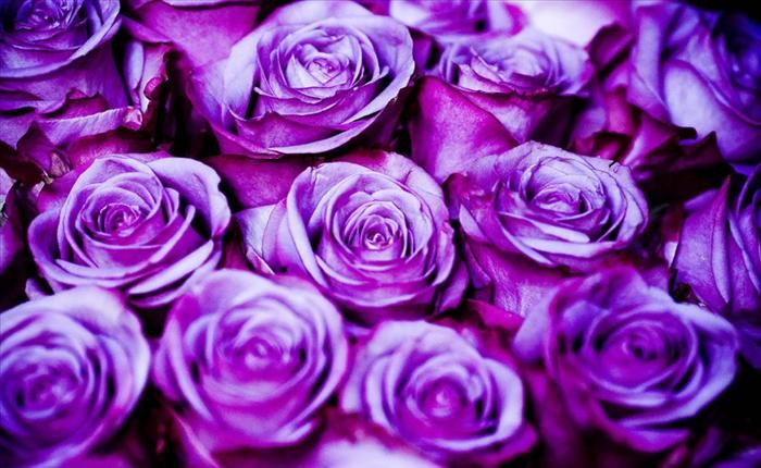 While White Tipped Purple Roses Denote A Joyful Mystery Flowers