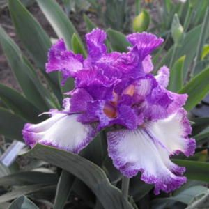 Tall Bearded Iris Iris Cause For Pause Zone 3 9b 36 In Tall Full Part Sun Iris Garden Growing Irises Iris Flowers
