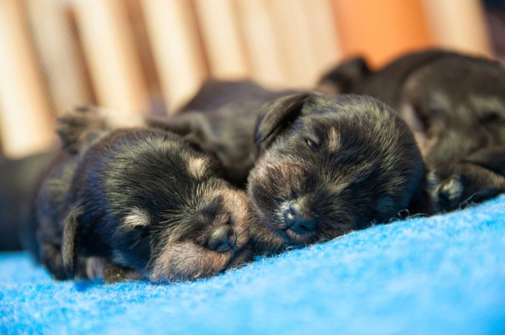 Why Are Puppies Born With Their Eyes Closed Newborn Puppies Puppy Litter Puppies