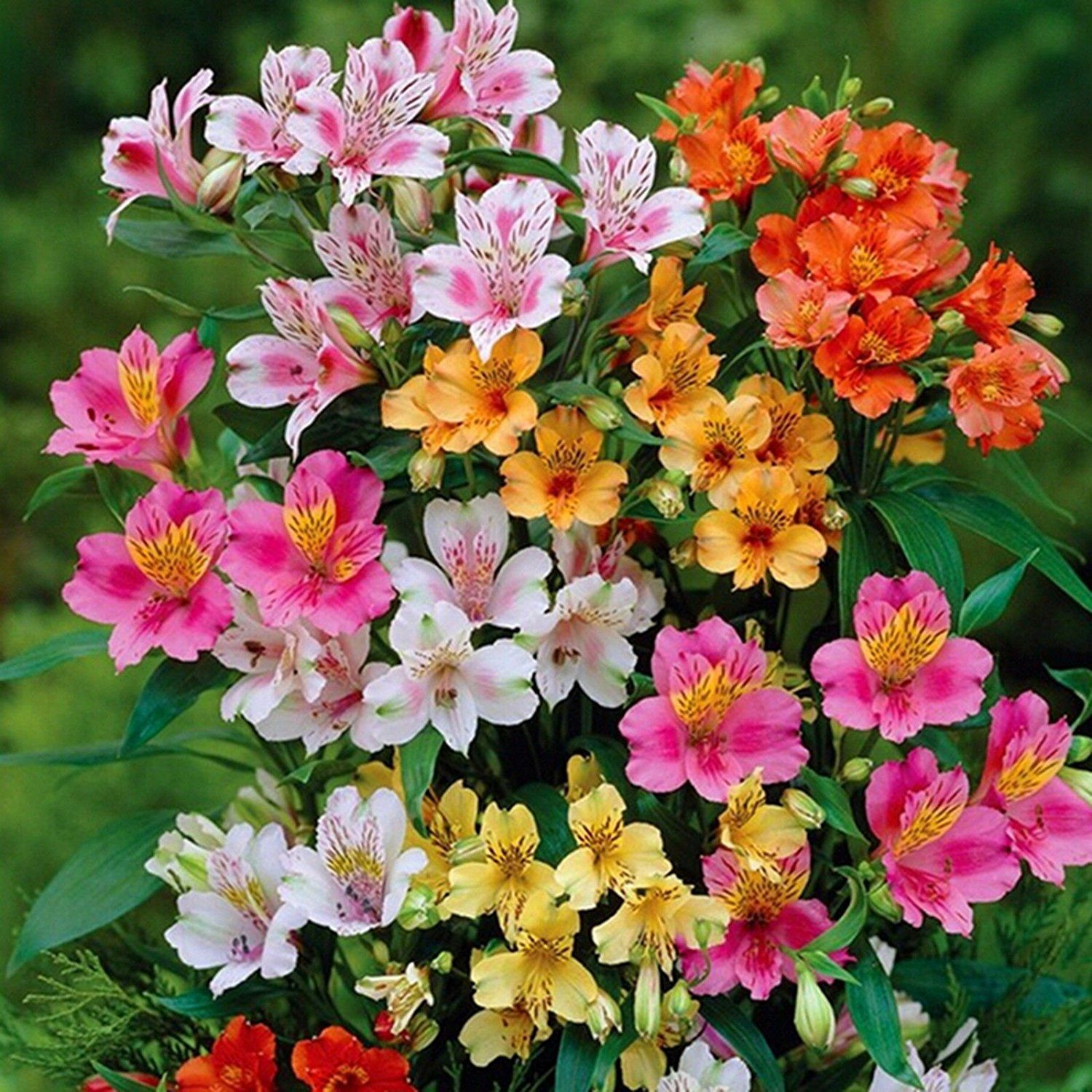 Alstroemeria commonly called the peruvian lily or lily of the incas