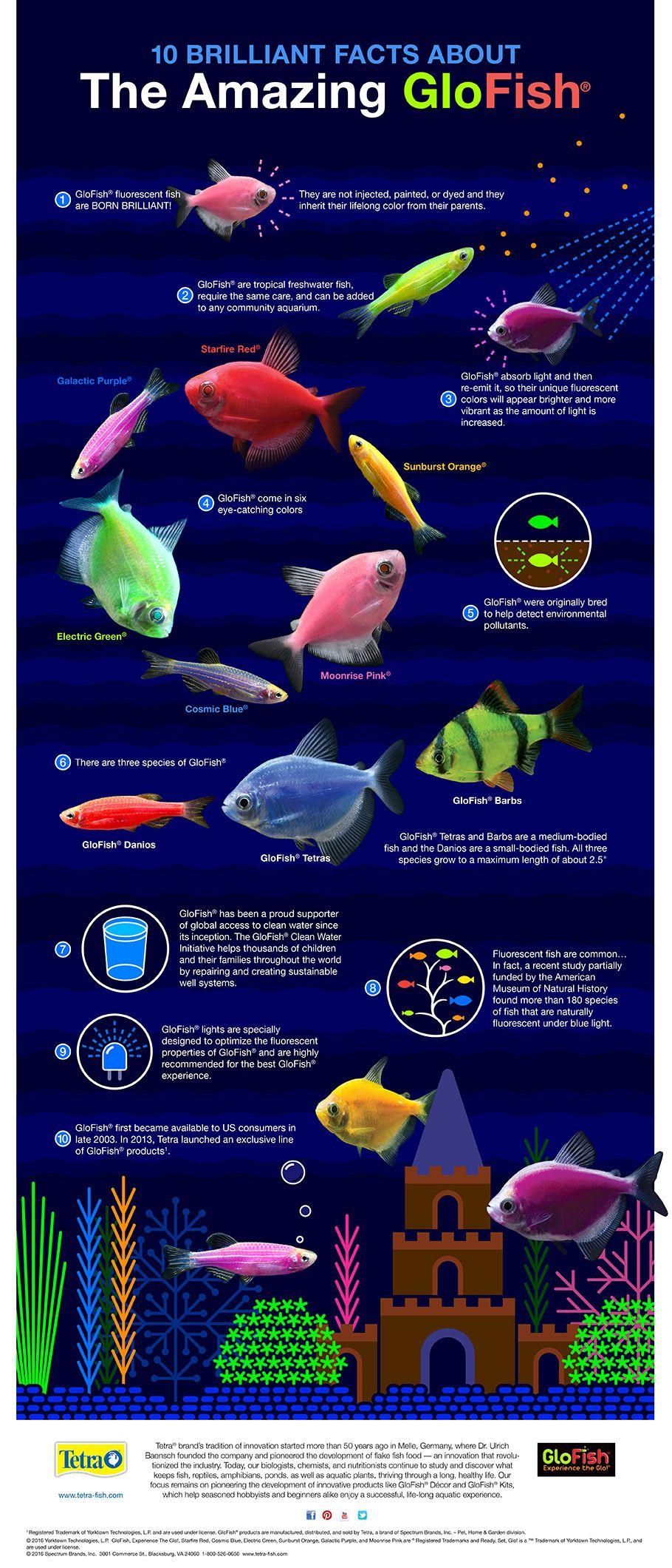 Freshwater fish compatibility - 10 Brilliant Facts About The Amazing Glofish Infographic Glofish Tetraglofish Aquariumtips