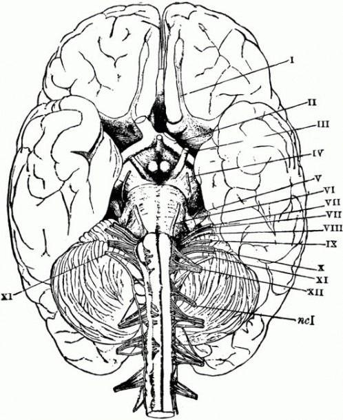 Printable Brain Anatomy Worksheet  U2013 Learning How To Read