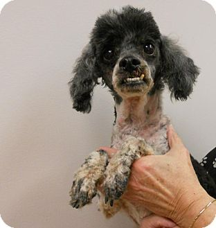 Pin By Sandy Hemsher On Shelter Help Poodle Cute Animals Pets