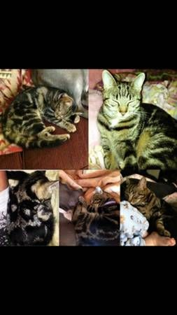 Lost Cat Reward Tabby Striped Manchester Rare Markings Police