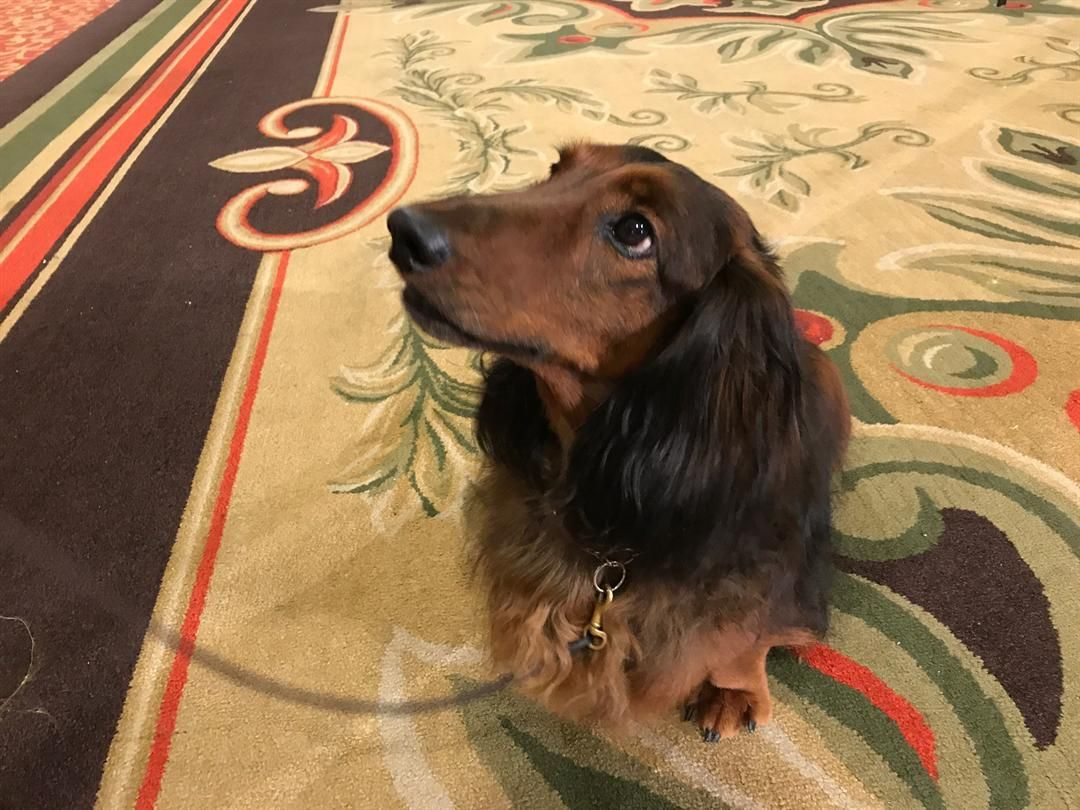 Dachshund Club Of America Brings Canine Competition To Louisville