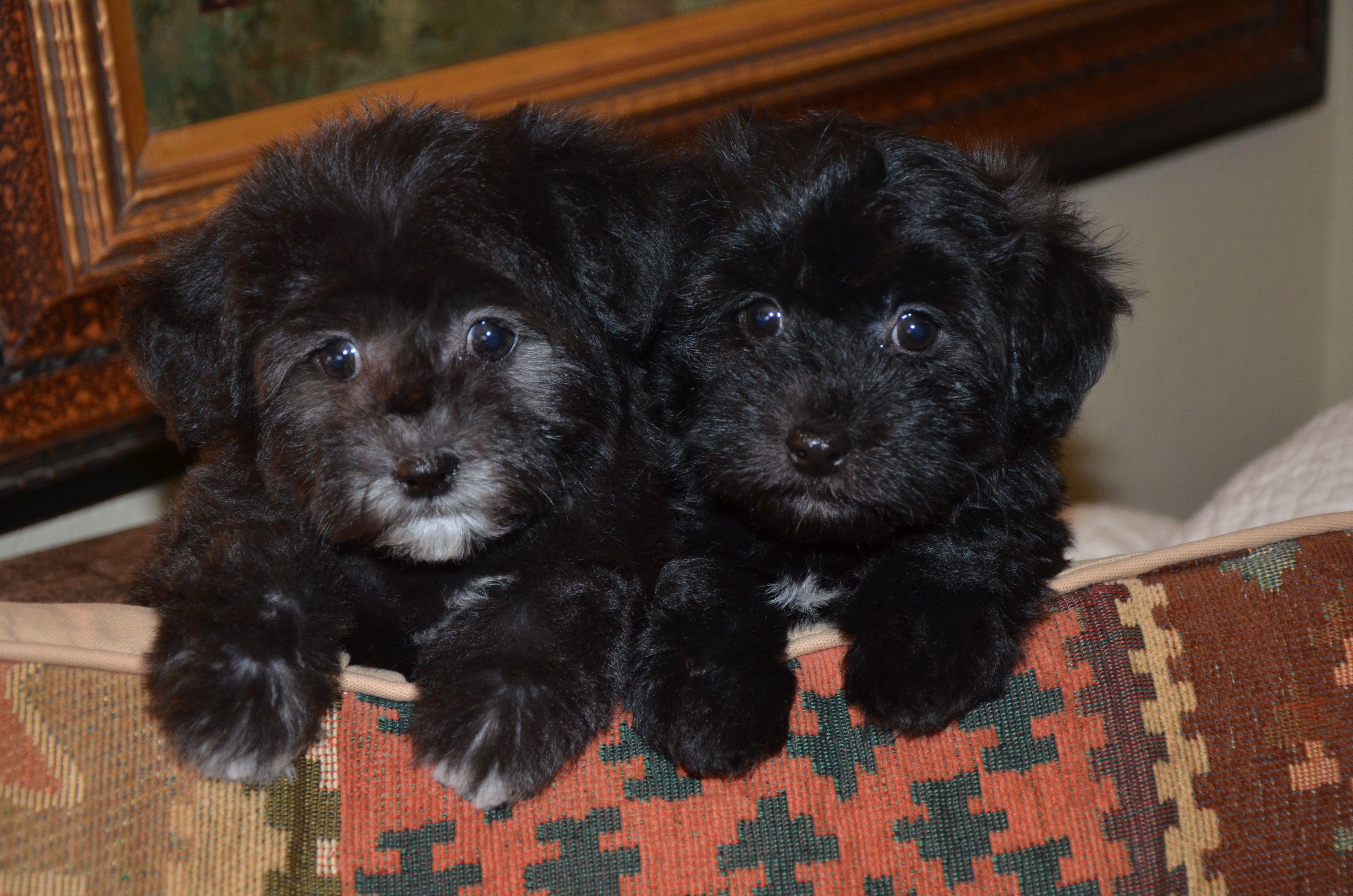 8 week old havanese puppies from denver havanese puppies