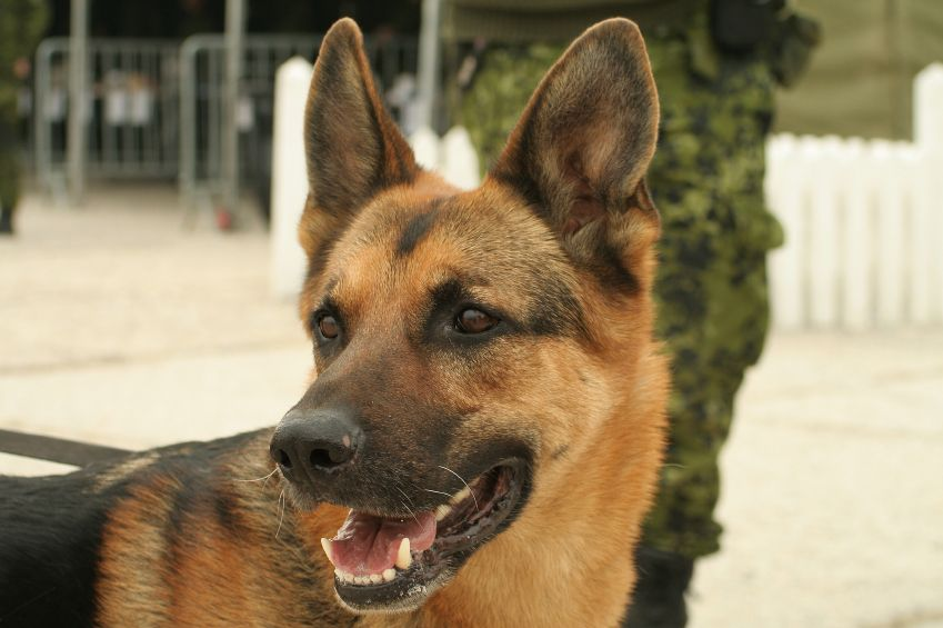 Military Working Dogs Facts Military Working Dogs Military Dogs