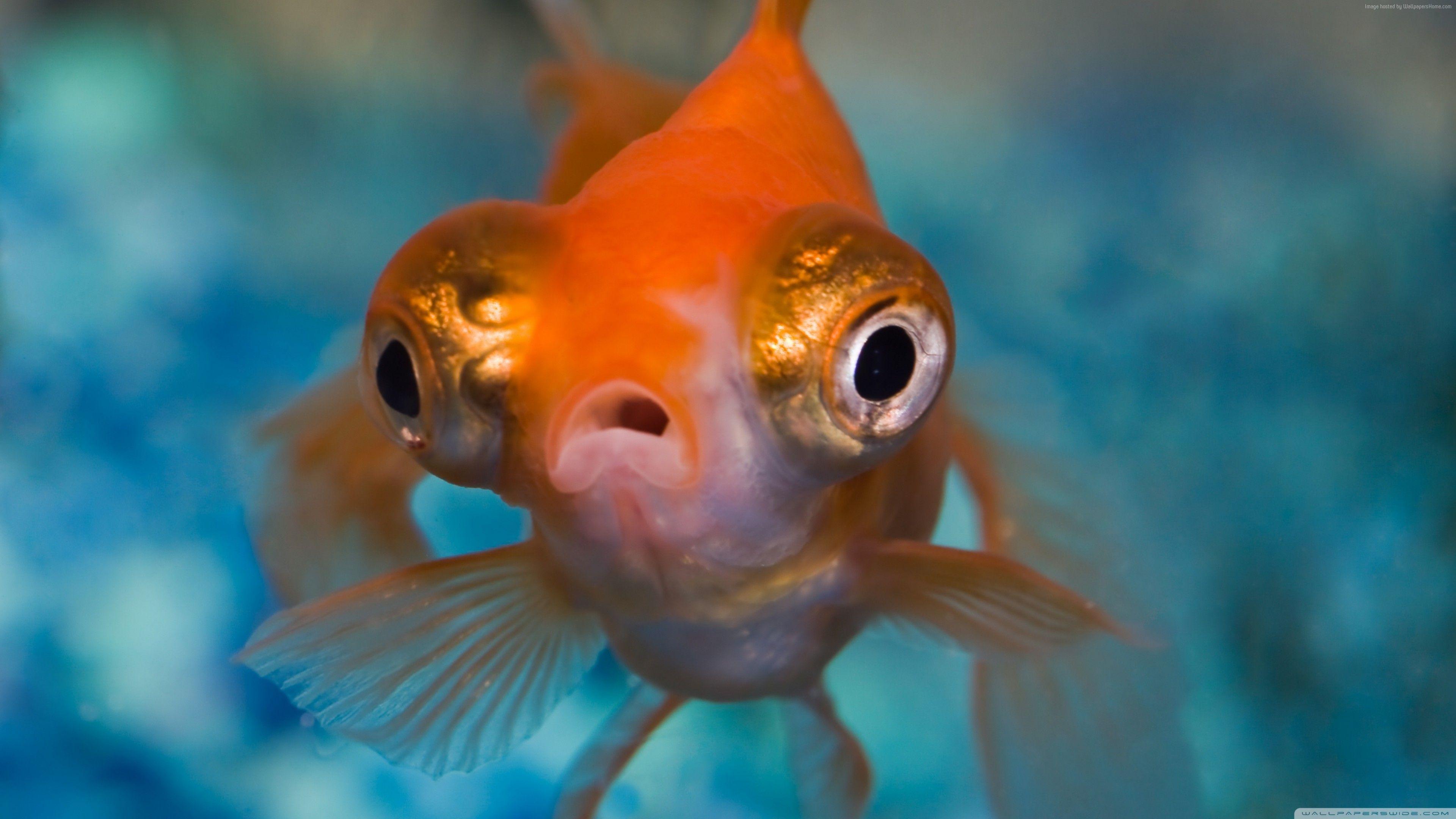 Aquaticecosystem Aquaticlife Fish Goldfish Nature Oceananimals Photography Sealife Telescope Underwaterphoto Wildlife Telescope Goldfish Fish