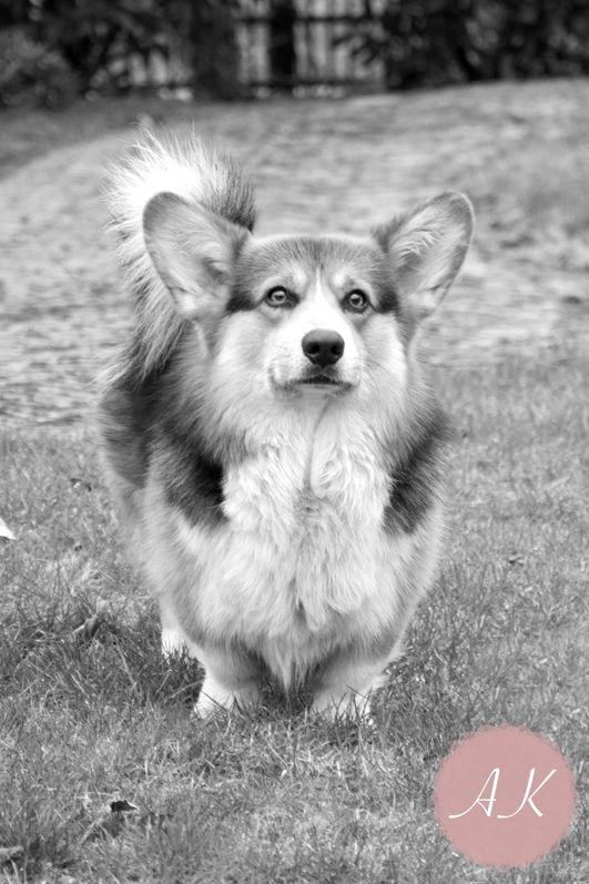 Een Corgi Pembroke Genaamd Fruzzle Leuke Hondjes Zijn Het Honden En Hondjes