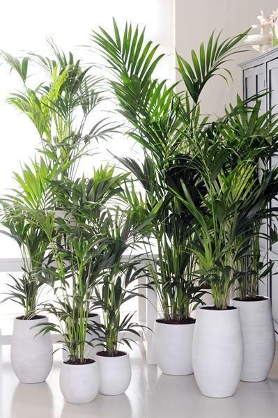 KENTIA PALM OF HOWEA  I like the idea of potted plants along the aisle