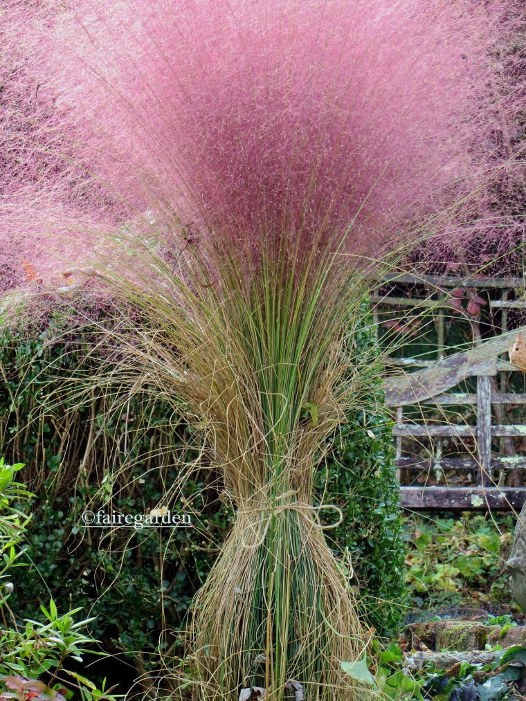 Pink muhly grass, Muhlenbergia capillaris tied up in a ponytail - like the ponytail idea also for other tall grasses!