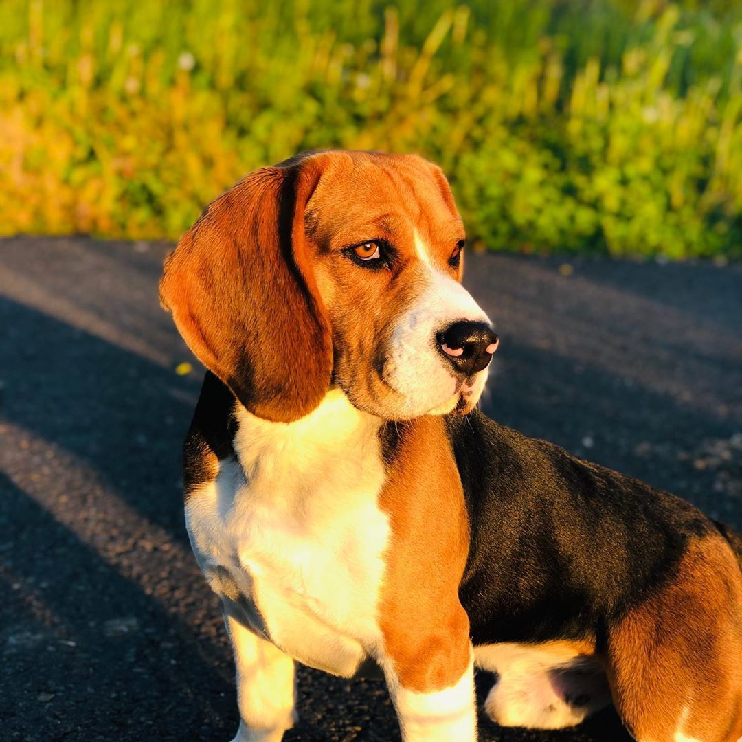 G Beagle Dog Belgium Beagle Dogs Animals
